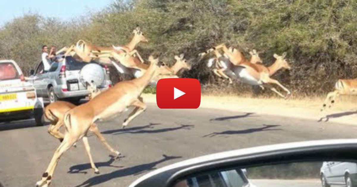 Cheetah Chases Impala Antelope Into Tourist S Car On