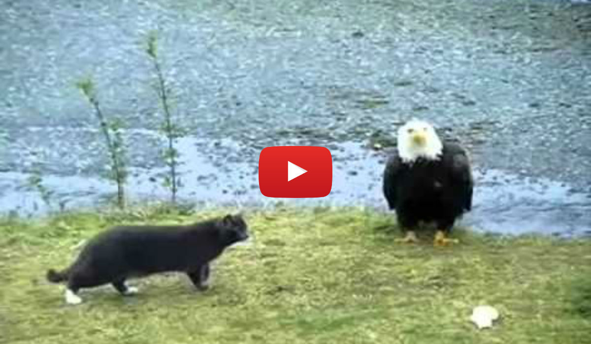 What is a look alike to the bald eagle  Answerscom