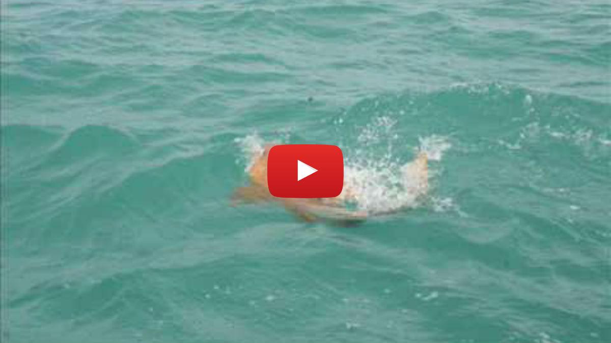 Goliath Grouper Eats Shark goliath-grouper-swallows-shark