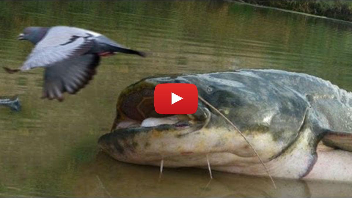 смотреть видео ловля толстолоба ранней весной