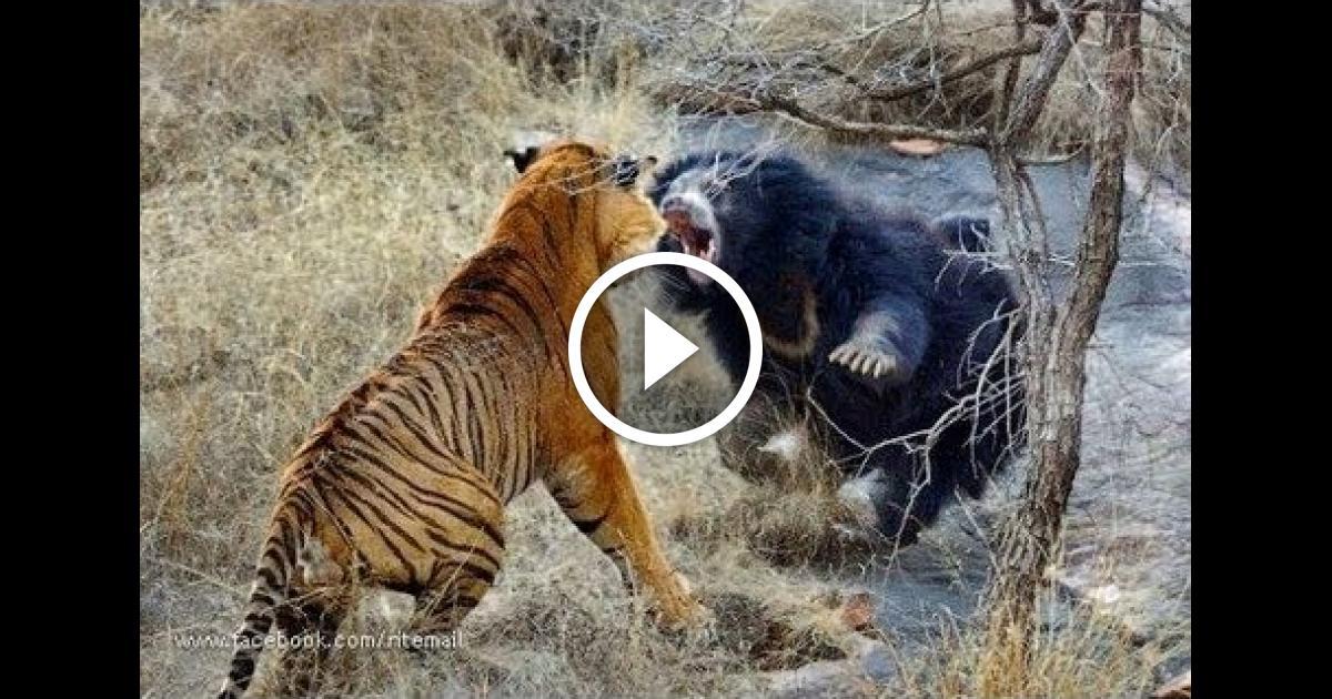 best wild animal fight video