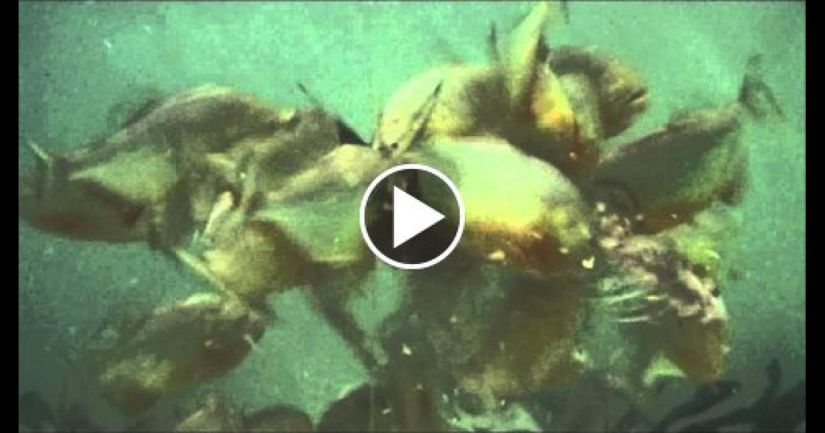 Piranha feeding frenzy these fish are real monsters for Feeding frenzy fish